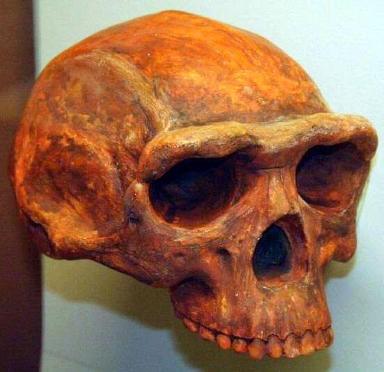 Cráneo de Homo erectus con su arco supraciliar (Fuente: Wikipedia Autor: Thomas Roche)