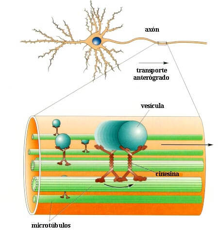 Esquema que muestra el desplazamiento de una vesícula sináptica hacia la sinapsis, para transmitir mensajes