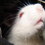 En ratas: Investigadores revierten el cambio en cerebro relacionado con la edad